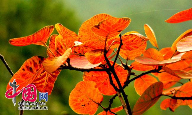 北京香山的红叶 中国网网友 龙邦/摄(2006年10月)