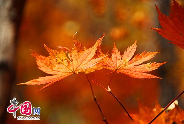 摄影欣赏:秋色嫣红层林尽染 辽宁本溪赏红叶[组图] 中国网 晓勇/摄影
