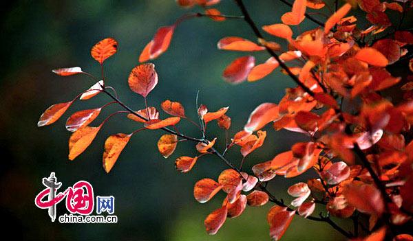 入画染秋红——河南焦作云台山红叶摄影[组图] 摄影/中国网网友 贾建峰