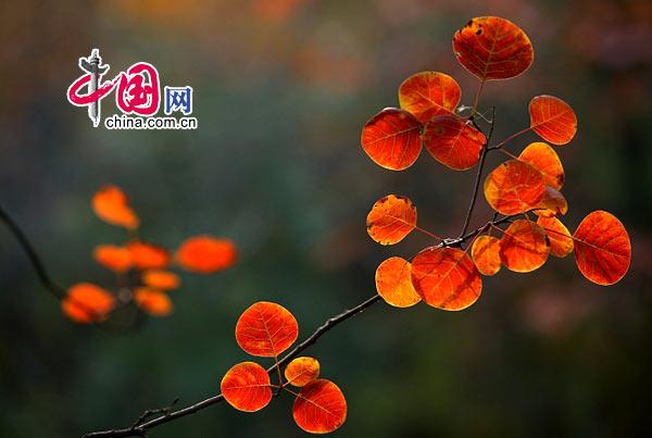 入画染秋红——河南焦作云台山红叶摄影[组图] 摄影/中国网网友 摄狼007