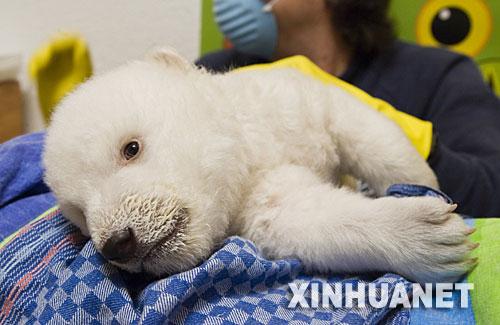 1月31日,在德国南部纽伦堡的一家动物园,一只7周大的北极熊宝宝在接受