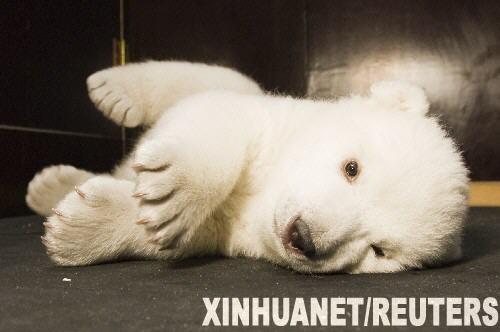 """2月21日,小北极熊""""雪花""""在德国纽伦堡市的一家动物园里玩耍."""