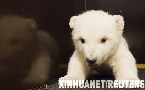 """笨笨又可爱的小北极熊""""雪花""""[组图]"""