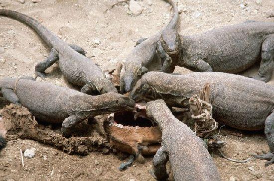 世界上最大的蜥蜴……科摩多龙