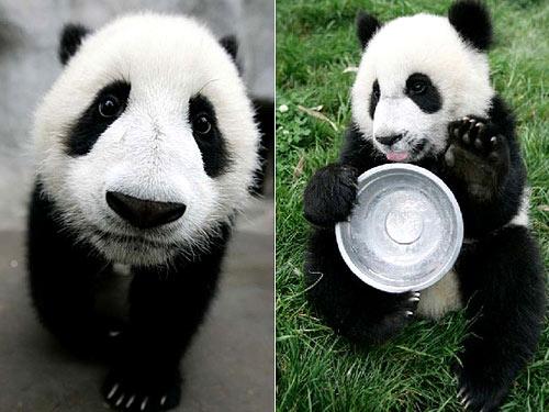 大熊猫宝宝很憨很可爱[组图]