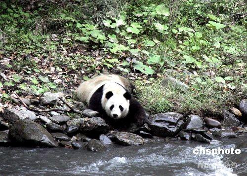 """经中国保护大熊猫研究中心人员辨认,正是5·12大地震后失踪的大熊猫""""茜茜""""。"""