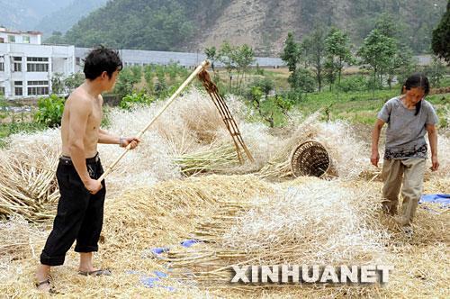 5月26日,四川北川县城附近任家坪村一队的农民在收获油菜籽。 目前,四川北川县城周边的受灾群众开始陆续返乡生产自救。