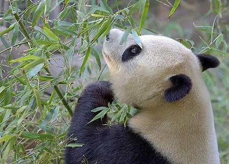 熊猫搬家后超可爱表情[组图]