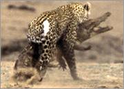 美国野外摄影师首次拍到花豹攻击鳄鱼[组图]