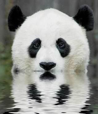 壁纸 大熊猫 动物 317_367