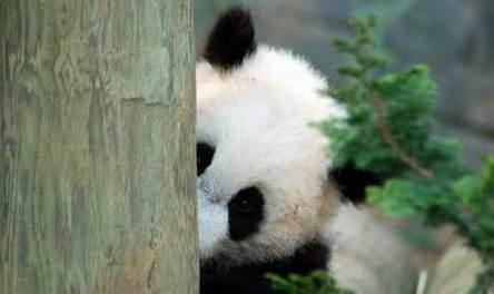 最适合做头像的熊猫图