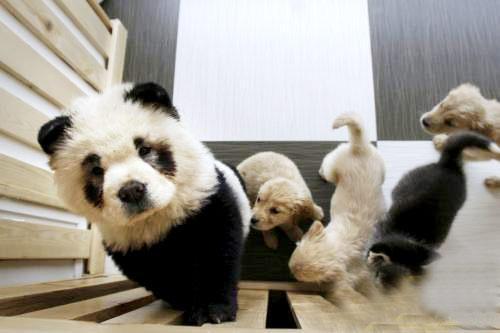 武汉惊现'山寨熊猫' 泰然逛街雷倒众人