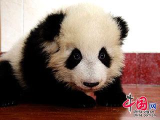 团团圆圆在卧龙——赠台大熊猫成长历程纪录[组图]
