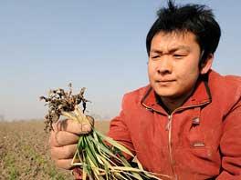 安徽利辛县永兴镇双龙村村民李甲在干旱的麦地上展示经浇灌后存活下来的麦苗