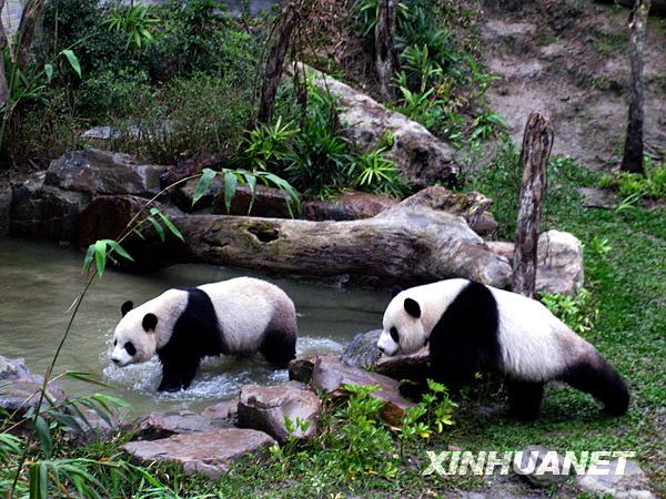 团团,大熊猫,踏青,居室,2008年,2009年,熊猫馆,戏水,台北市立动物园,亮相