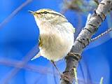鳥兒在春天裏歡歌[組圖]