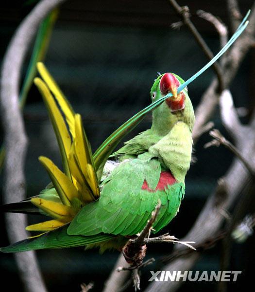 3月1日,一只鹦鹉在南京红山森林动物园整理羽毛.新华社发(王新 摄)