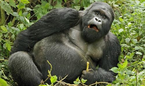摄影师拍到非洲银背大猩猩喝醉镜头