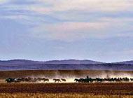 锡林郭勒草原上奔跑的马群
