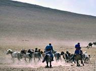 錫林郭勒草原的牧民在趕著馬群奔跑,讓馬匹快速脫去冬季的厚毛。