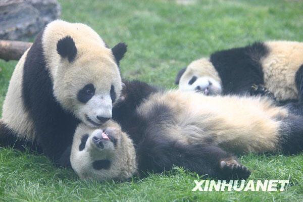 6只'国庆熊猫'在北京动物园与游客见面[组图]