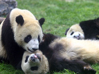 '国庆熊猫'走进北京动物园