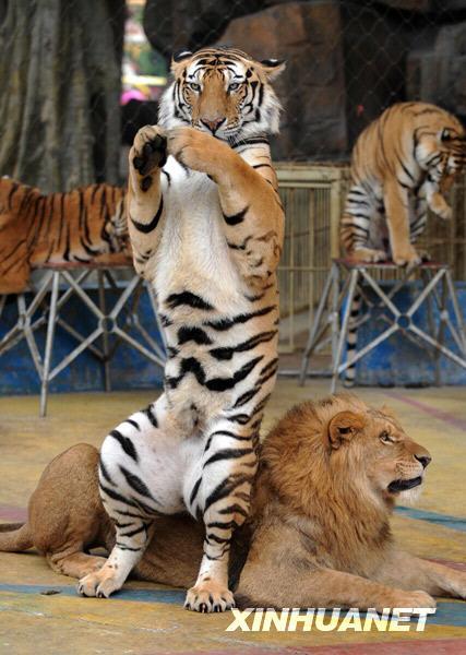 """""""五一""""期间,广西南宁市南宁动物园举行狮虎专场演出,精彩的狮虎表演"""