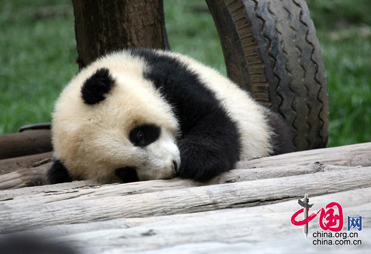 """可爱熊猫--那些传说中的""""睡神""""们"""