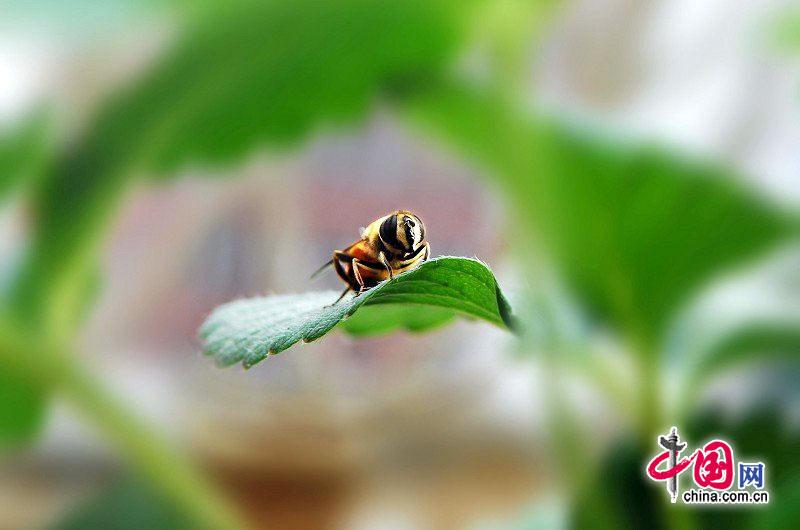 清晨,公园、庭院、路边的花卉竞相开放,生怕自己开得没有别的花漂亮。辛勤的小蜜蜂早早的在花丛中不停地忙碌着,小蜜蜂顺着清风吹来的阵阵花香,寻找着最美丽的花朵,花儿也向小蜜蜂发出问候:你为什么到我身边来?小蜜蜂答道:因为你鲜艳、清香、美丽,更重要的是你美化了我们的城市,随机小蜜蜂在花儿的脸上跳跃、亲吻着---;花儿羞的更加艳丽,不知是谁说了一声,摄影师快把瞬间留住----文/摄影:贾云龙