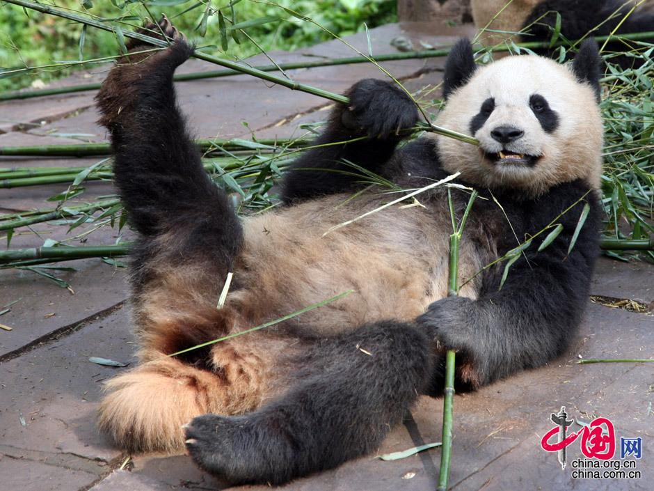 大熊猫如何吃竹子?