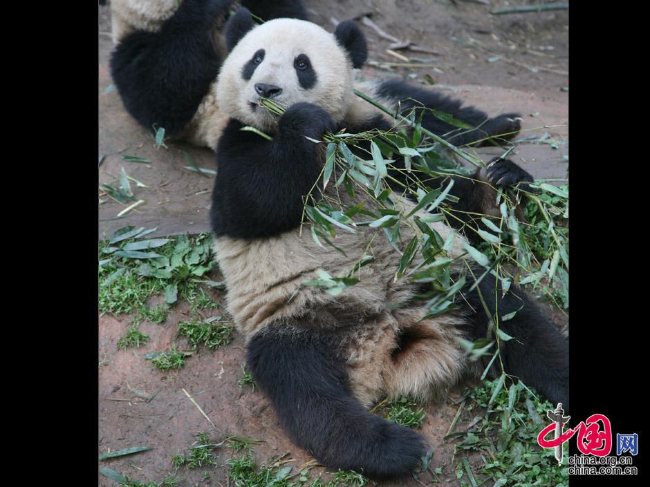 大熊猫 吃竹子