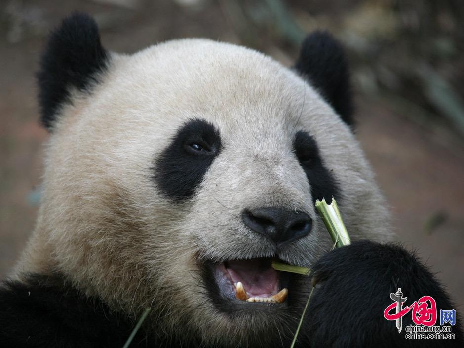 大熊猫 吃竹子. 中国网/杨楠摄