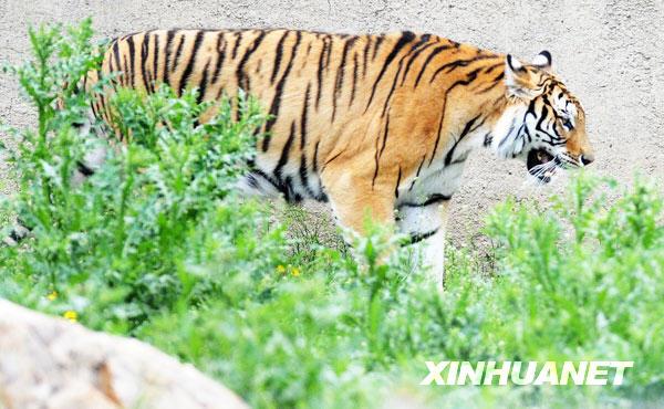 长春动物园4岁东北虎喜得虎崽[组图]