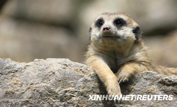5月24日,在德国法兰克福动物园,一只猫鼬趴在石头上晒太阳。