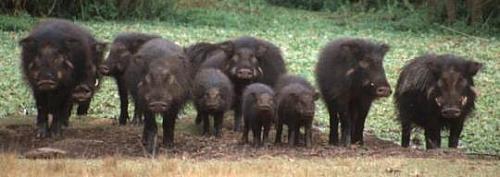 猪弟一性交_不一样的猪[组图]