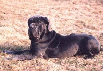 世界上最凶猛的14种猛犬