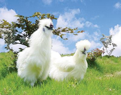 江西泰和乌鸡