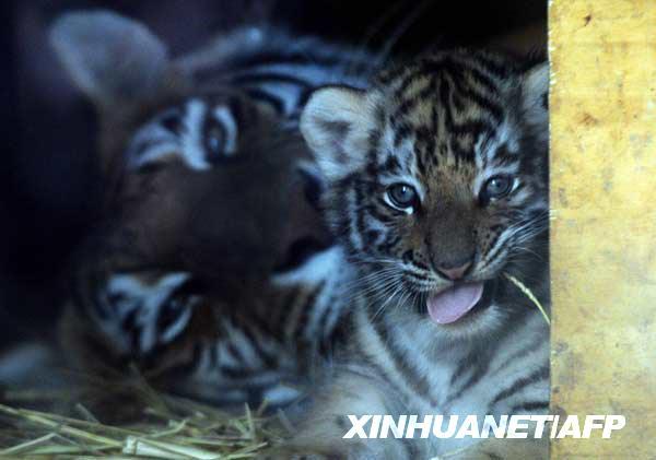 好可爱的老虎宝宝〔组图〕_图片中心_中国网