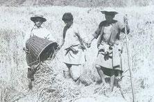 珞巴族水稻脱离