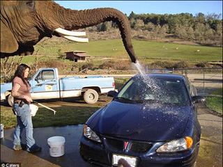 美国动物园聘请大象洗车应对资金困难[组图]