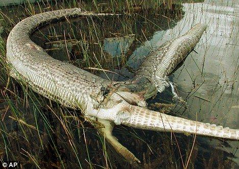 佛罗里达上演蟒蛇吞食鳄鱼大战[组图]