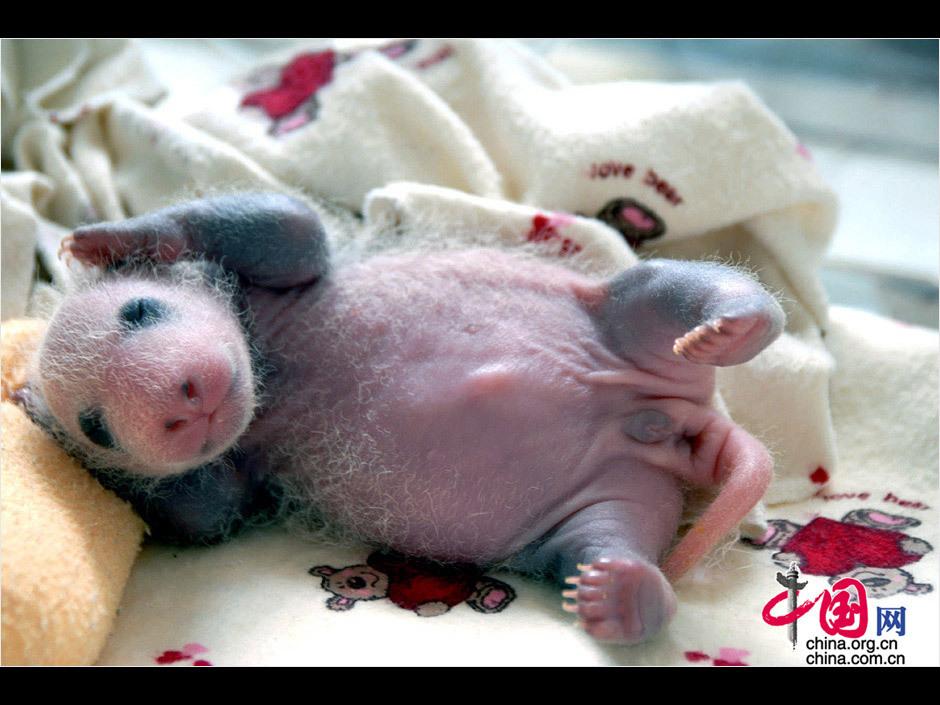 中国 罗小韵/15天大的熊猫幼仔,睡姿极其可爱。罗小韵/摄影...