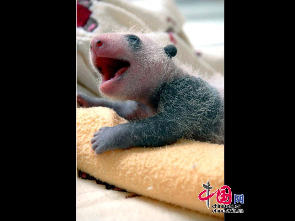 图片中国:初生熊猫宝宝的安逸生活 _图片中心_中国网
