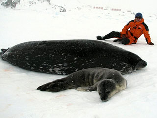 南极长城站野生海豹冰雪中产仔