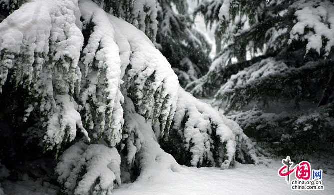 大雪压青松(摄影 李乐)-独家 京城昨夜普降大雪 一片银白的世界
