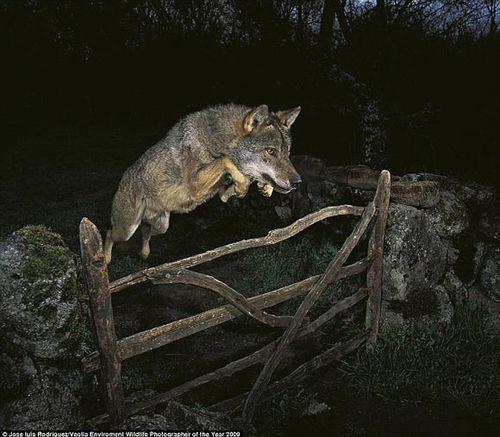 09世界野生动物摄影大赛冠军作品涉嫌造假