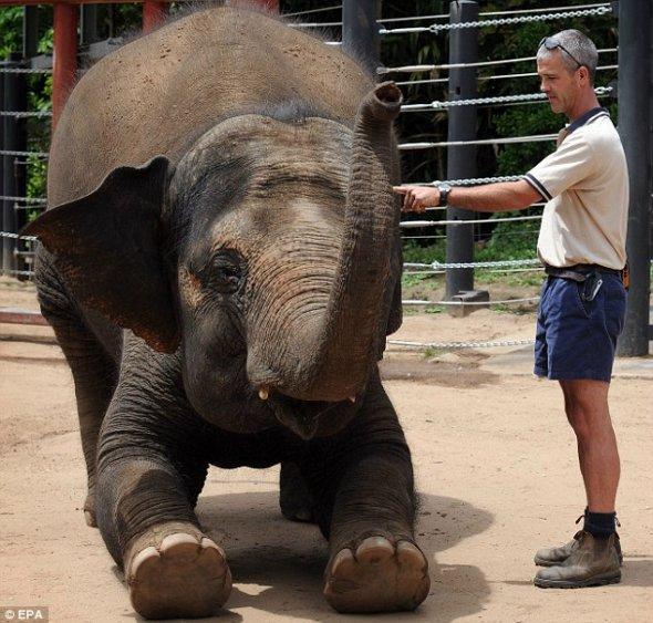 """动物园大象准妈妈产前做""""助产操"""""""