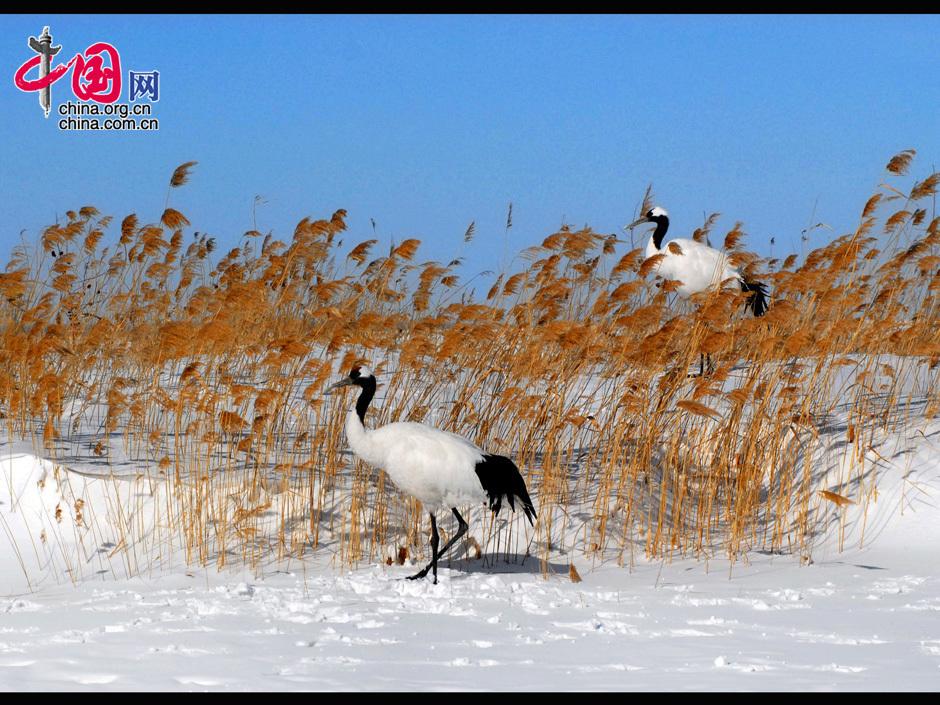 扎龙国家自然保护区是丹顶鹤的故乡,是世界著名的重要湿地之一,位于