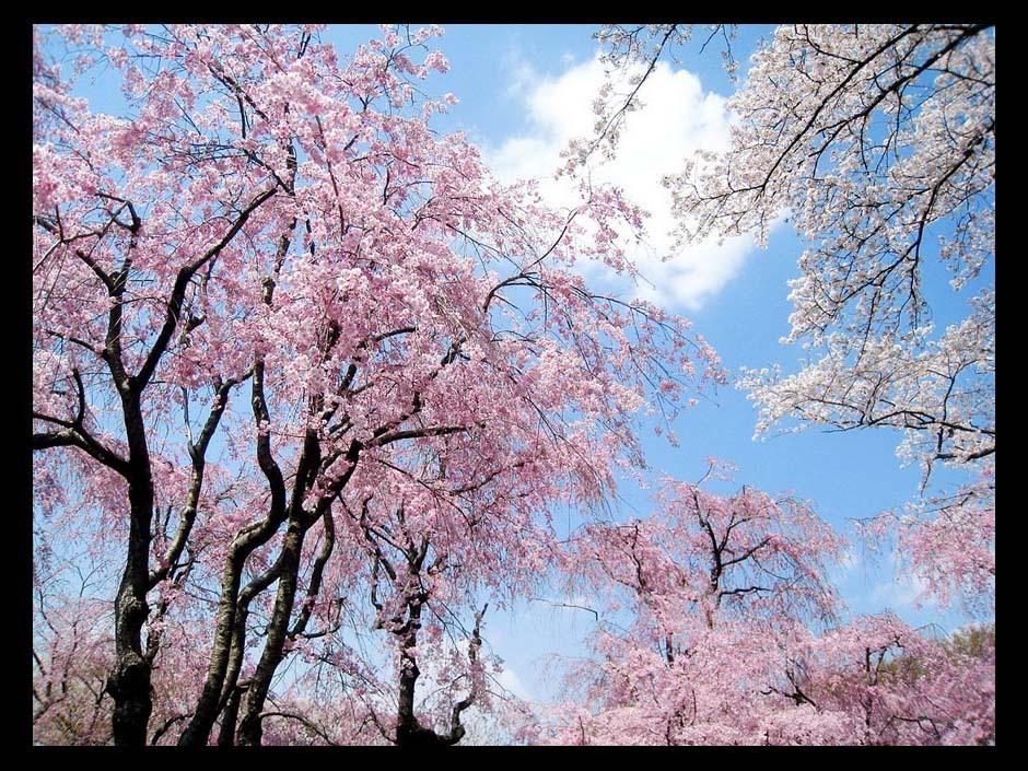 高清图集:和风徐徐 日本国樱花浪漫