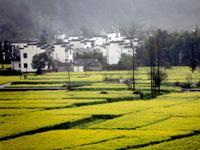 2010年3月24日,在齐云山脚下拍摄的金黄灿灿油菜花。
